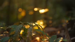 Morning light on plants in amazonian forest French Guiana