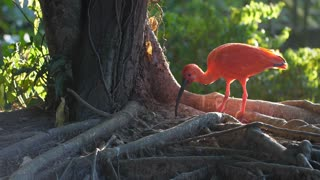 Red scarlet ibis in French Guiana
