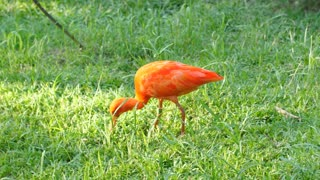 Scarlet ibis eating in grass French Guiana zoo.