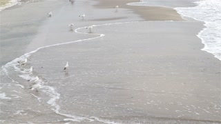 Group of seagulls on the shore on a cloudy day, slow motion, wide shot