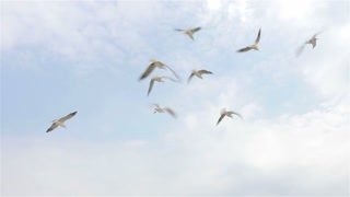 Seagulls catches food in the sky on a clear day, slow motion, view from below