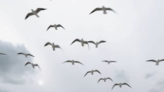 Seagulls flying in the sky in winter and catch the food