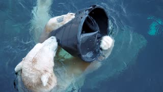 White polar bear floating in water and playing with toy into zoo aviary