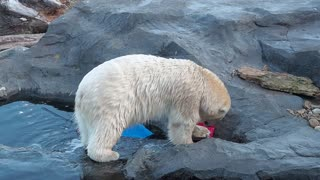 White polar bear playing with toy while walking in zoo aviary