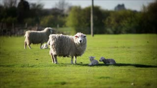 Ewe and lambs in an English country farm
