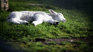 Sleeping lamb in the spring sun