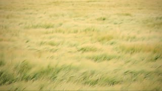 Wheat crop blowing in the wind. Full frame abstract background texture.