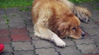 Dog lying and sleeping on pavement while girl coming