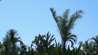 Palm trees moving on the wind, slow motion shot