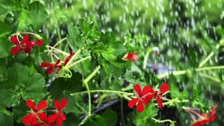 Rain water drops falling over flower, slow motion shot at 240fps