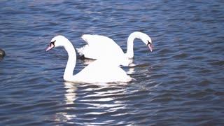 Swans floating on the river, steadycam shot, slow motion shot at 240fps
