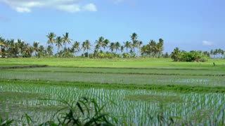 View of large rise fields in Asia, steadycam shot