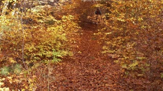 Woman walking in the autumnal forest with a map, steadycam shot