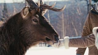 Closeup of hand of woman hand feeding wild deer in the winter