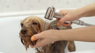Female groomer hands holding pet shower sprayer and washing little Yorks snout and ears