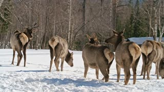 Herd of red deer walking on snowy grazing field and feeding