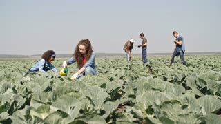 PAN of young women foliar feeding cabbages on green field as male farmers shoveling soil