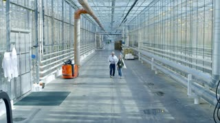 Crane shot of senior agronomist in glasses and lab coat walking along hall of industrial greenhouse and discussing work with female colleague