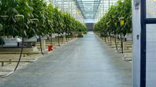 Crane shot with rear view of male and female agronomists in lab coats talking and walking through greenhouse with rows of green cucumber plants growing in hydroponic beds