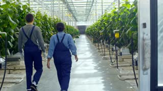 Crane shot with rear view of unrecognizable female African worker in blue overalls talking with male colleague and walking through greenhouse with rows of cucumber plants growing in hydroponic beds
