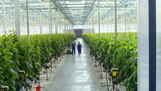 Crane shot with tilt down of female African worker and her male colleague in overalls and gloves talking and walking through greenhouse with rows of cucumber plants growing in hydroponic beds