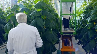 Crane shot with tilt up of female African scientist in lab coat and safety goggles standing on pipe rail trolley and working with green cucumber plants in industrial greenhouse