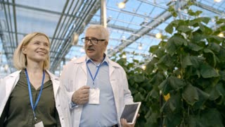 Dolly with low angle of cheerful female agronomist with blond hair discussing work with senior male colleague with tablet while walking through commercial greenhouse