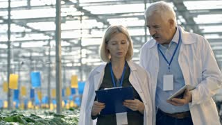 Dolly with slowmo of cheerful mature woman in lab coat holding clipboard and discussing work with senior male agronomist while walking through industrial greenhouse