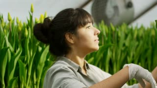 Handheld of Hispanic female greenhouse worker smiling and inspecting blooming tulips, then putting them into hydroponic bed