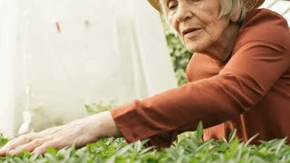 Handheld shot of senior woman with grey hair wearing straw hat inspecting green young plants growing in her greenhouse