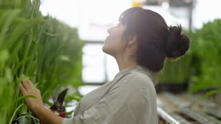 Handheld shot with side view of female gardener with pruner inspecting green stems of flowers growing in raised beds in commercial greenhouse