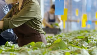 Medium shot of blond mature woman in apron chatting with African female greenhouse worker in overalls and putting potted plants into basket