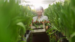 Medium shot of female Hispanic gardener smiling and carrying wooden box with cut red tulips while walking towards camera in greenhouse with raised flower beds