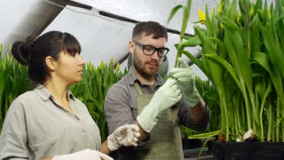 Medium shot of Hispanic female gardener in gloves and her male colleague in glasses and apron inspecting yellow tulips growing in hydroponic beds in greenhouse