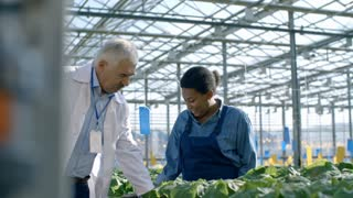 Medium shot of senior male agronomist and his female colleague in lab coat inspecting potted cucumber plant and talking with African woman in overalls working in commercial greenhouse