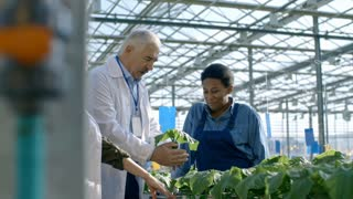 Medium shot of senior male agronomist and his female colleague wearing lab coats inspecting green plants and discussing growth development with African woman working in commercial greenhouse