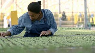 PAN of African woman in blue overalls inspecting seedlings growing in greenhouse nursery