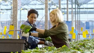 PAN of cheerful female greenhouse worker and African woman in overalls putting potted cucumber plants into basket