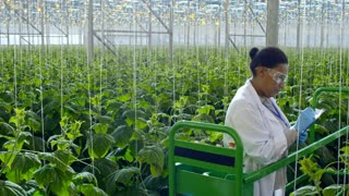 PAN of female African agronomist in safety goggles, lab coat and gloves standing on pipe rail trolley and inspecting plant, then writing something in clipboard while working in industrial greenhouse