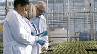 PAN of female African agronomists standing before grow bed with seedlings and typing on tablet as her mature colleague and male senior crop researcher in lab coats discussing soil sample in test tube