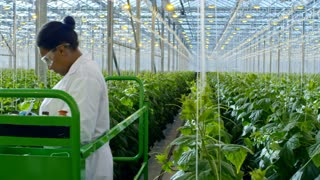 PAN of female African scientist in lab coat and safety goggles standing on pipe rail trolley and inspecting plants in industrial greenhouse
