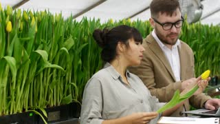 PAN of female gardener showing yellow tulip to businessman in glasses choosing flowers in wholesale greenhouse: he inspecting plant and typing on laptop