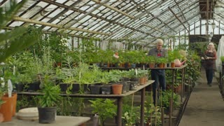 PAN of senior woman with potted plant walking through greenhouse and greeting her elderly colleagues working with young plants