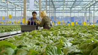 PAN of woman with blond hair putting pots with green cucumber plants into basket and chatting with female African colleague while working in large greenhouse