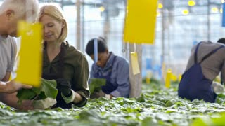 PAN with slowmo of blond female greenhouse worker and senior man standing before hydroponic grow bed and inspecting cucumber plant