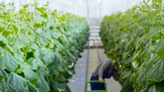 Tilt down of female African worker in overalls and gloves walking along rows of plants and harvesting cucumbers in industrial greenhouse