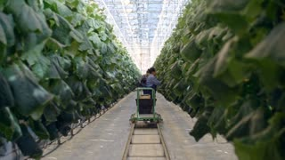 Zoom in shot of female African greenhouse worker in overalls harvesting cucumbers and putting them into wooden crate