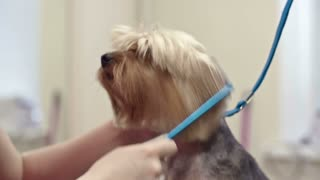 Woman brushing hair of Yorkshire terrier with comb in grooming salon