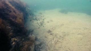 Fish near the reef in the Black Sea