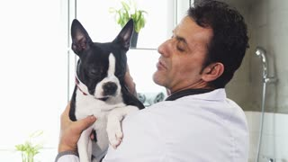 Close up of a handsome mature male professional vet holding adorable Boston Terrier dog petting him love affection friend happiness job occupation profession lifestyle medicine clinic animals.
